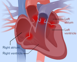 Heart contraction year 10 sport science the heart is comprised of four chambers the right atrium and ventricle and left atrium and ventricle the heart also has four valves that control the flow ccuart Choice Image